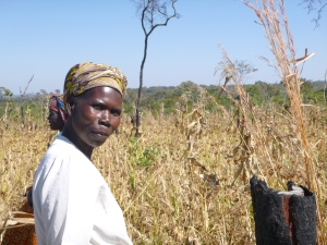 Ba Dorothy, harvesting amale (millet) in her own sweet time.