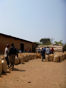 Hundreds of bags of maize, just waiting to be weighed and purchased at the FRA government shed in nearby Lubushi.