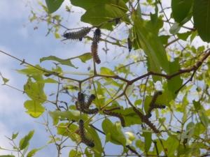 Mumpa caterpillars devouring the tree leaves in my yard.