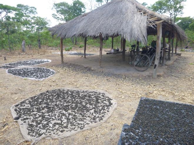 "Caterpillars drying in the sun at ""caterpillar camp,"" aka the Mfuba community nsaka."