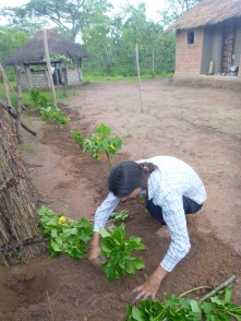 Samwell planting jatropha cuttings around my existing garden fence.