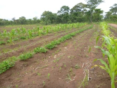 My field. Note stunted, sparsely planted, beetle-eaten soya beans at center.