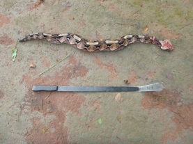 Gaboon viper, and the machete that did it in.