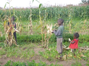 Allan and Boke (right) harvesting maize. Boke's little sister Melba was along for the adventure.