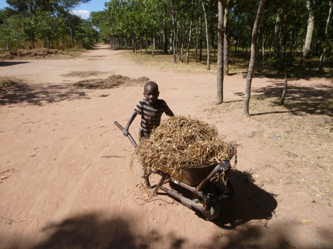 Katongo and another of his super-kid feats: wheeling a massive load of dried bean vines to my field.