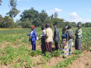 Ba Foster showing a group of Mfuba and Mumana Lupando farmers a field of faster-growing cassava at the Miasamfu Research Station.