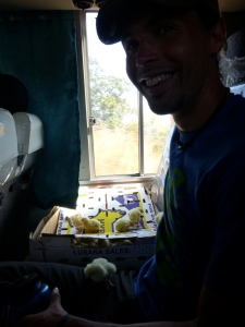 Zach shares a seat with a box of escape-artist chicks.