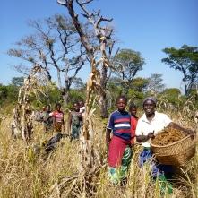 The Kashalyashi Women's Co-op harvesting millet.