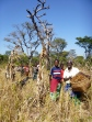 The Kashalyashi Women's Co-op harvesting millet.