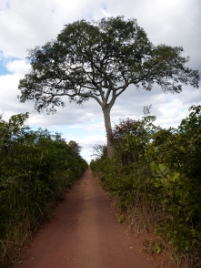 My favorite tree: the big landmark mpundu, halfway between Mfuba and Lubushi. Fresh fruit bonus on the bike ride!