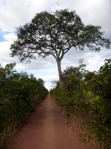 My favorite tree: the big landmark mpundu, halfway between Mfuba and Lubushi. Fresh fruit bonus on the bike ride!