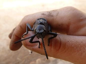 Big, black locust.