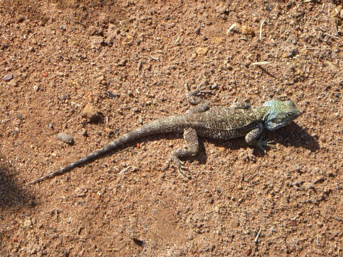Cool, green-headed lizards that can be found all over Mfuba - if you look fast.