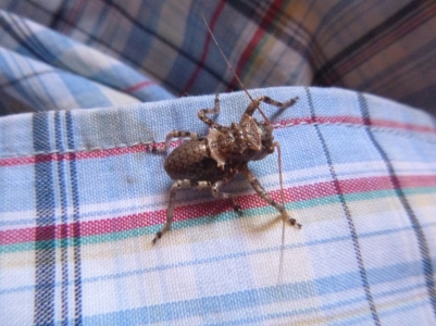 A cool bug that landed on my shirt.