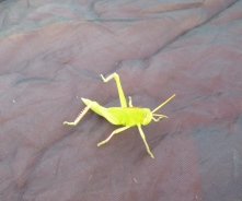 Neon-colored locust on my tent at our camp site on the Zambezi.