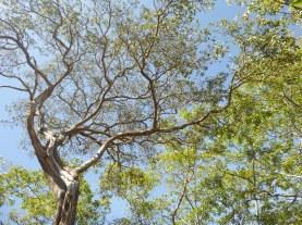 Mfuba canopy.