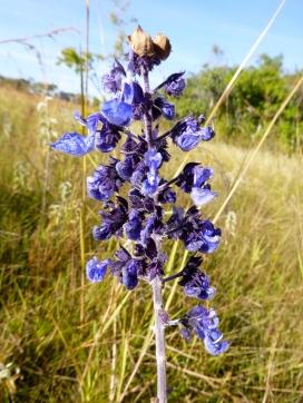 Dambo flower.