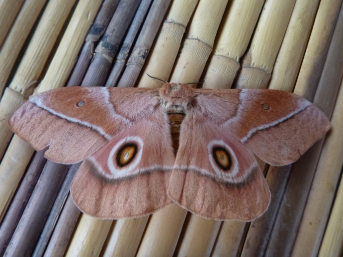 Moth on the reed mat in my nsaka.
