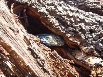 Lizard hiding in a tree trunk.