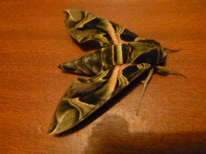 Beautiful moth.