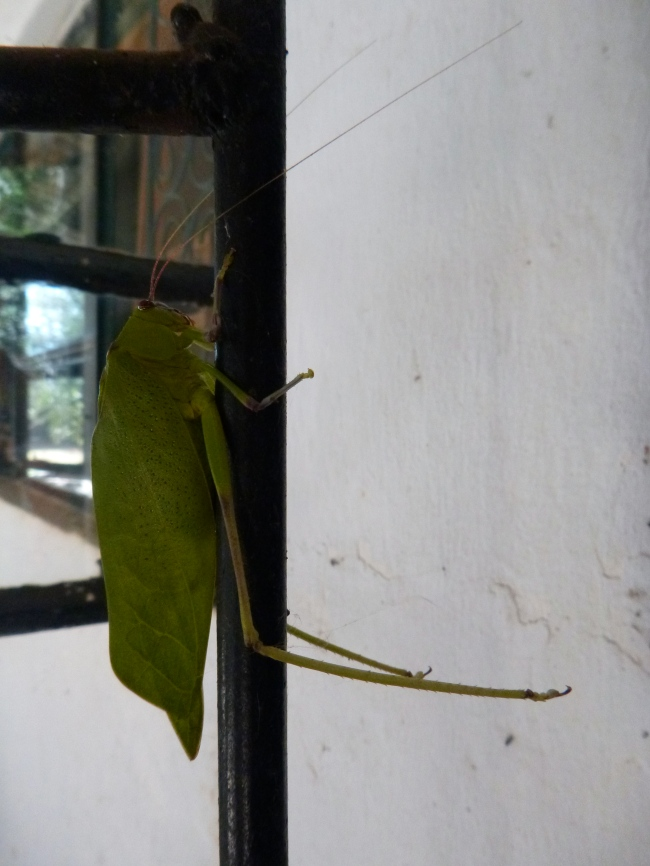 Locust in the doorway of the NoPro house. This guy was at least 10 cm long, and his wings looked exactly like leaves.