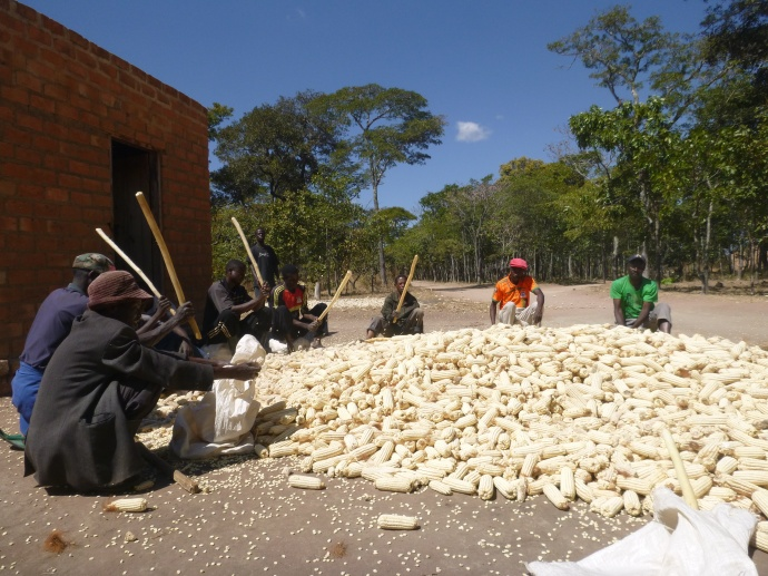 Men of the Mfuba Multipurpose Co-op pounding maize cobs to remove the kernels.