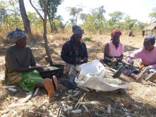 Banakulu Teba, Ba Mary, Banakulu Mishek, and Banakulu Line shelling maize for the Mfuba Multipurpose Co-op.