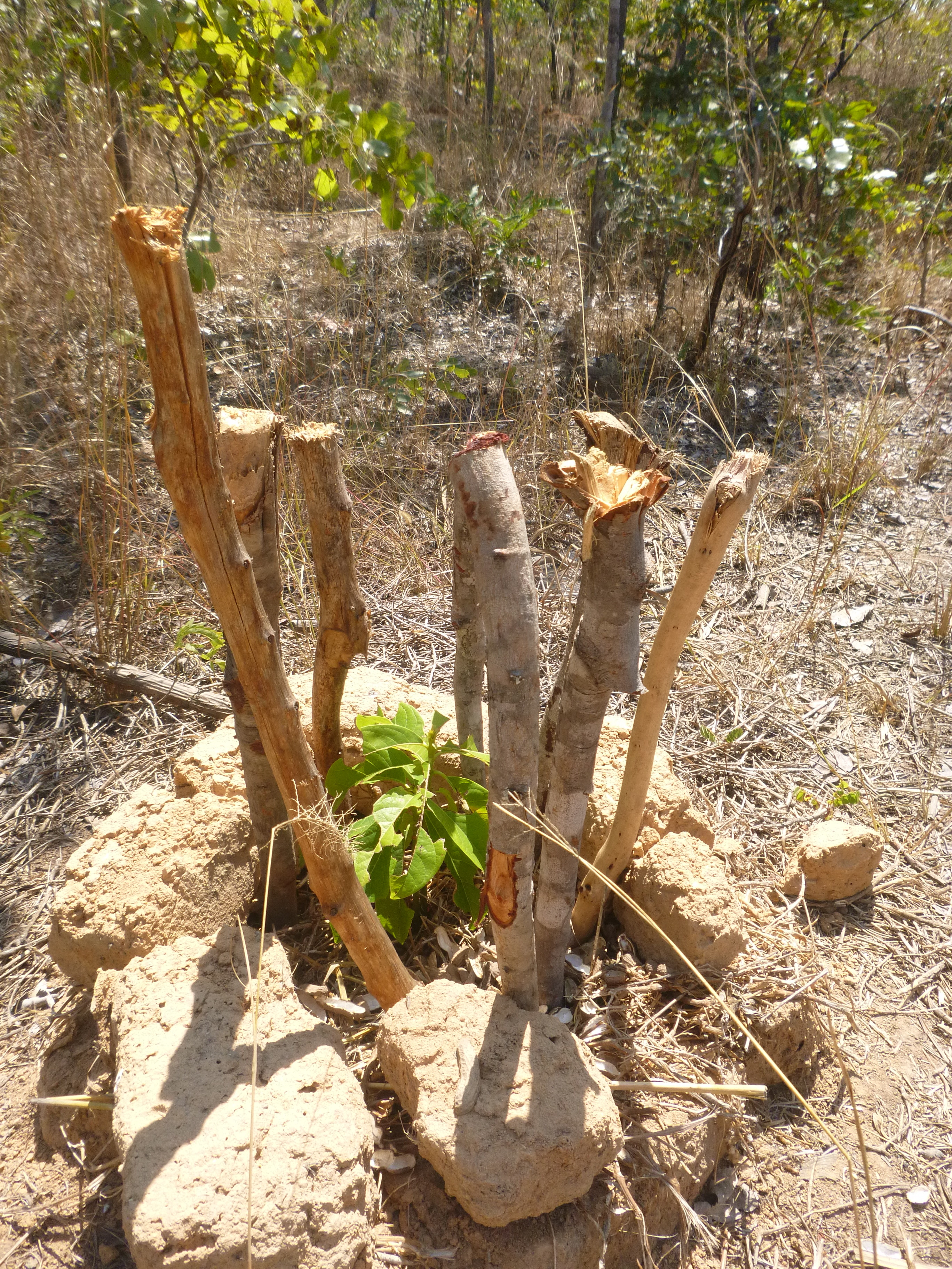 Slash and burn the wanderer in zambia - Protecting fruit trees in winter ...