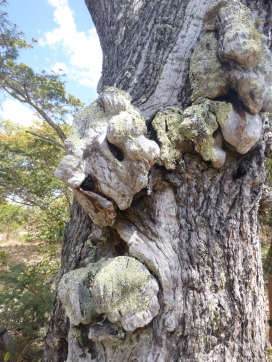 Sweet old growths on an old tree. Looked to me like the gnarled face and hands of an old, old man.