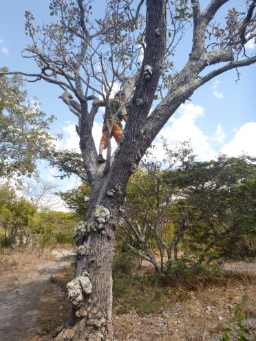 Adam up a tree.