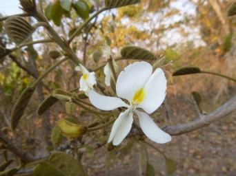 Mutondo tree flowers smell amazing, too.