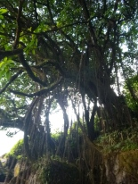 Sweet vine-covered tree below Lumangwe Falls.