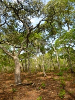 Old-growth miombo woodlands! So THIS is what Zambia's forests are supposed to look like ...