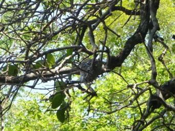 Tiny nest of a Paradise Flycatcher.