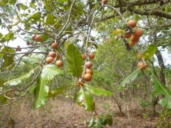 Amasuku fruits on a low-hanging branch.