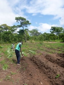 Boyd making ridges in my field.