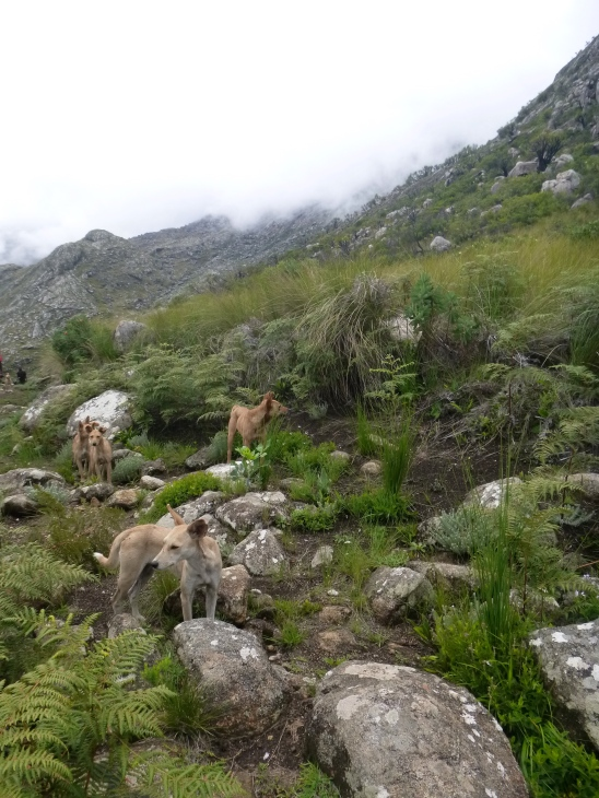 Quite unexpectedly, we ran into a huge pack of hunting dogs. Even though hunting is illegal in the Mulanje Mountain Forest Reserve.