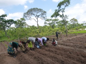 Planting beans in Mfuba's conservation farming demonstration field, where precise planting is key.