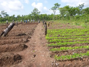 The demo field: cassava stalks on the left, soybeans on the right, beans soon to come in the back-left corner.