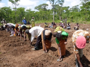 Planting beans in the community demonstration field, using a moveable string to keep planting spaces consistent.