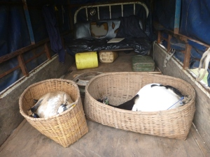 The goats, pregnant and tied up in the back of Bashi Nevis' truck - before we picked up 16 additional people and a few chickens.